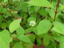 Дерен белый (лат. Cornus alba)