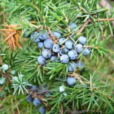 Можжевельник обыкновенный или Ве́рес (лат. Juníperus commúnis)