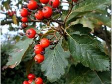 Рябина шведская или рябина промежуточная (Sorbus intermedia)