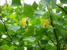 Лириодендрон тюльпановый, или тюльпанное дерево настоящее, или лиран (лат. Liriodendron tulipifera)